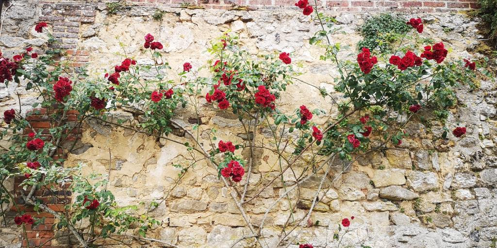 Red roses climbing an old brick wall.